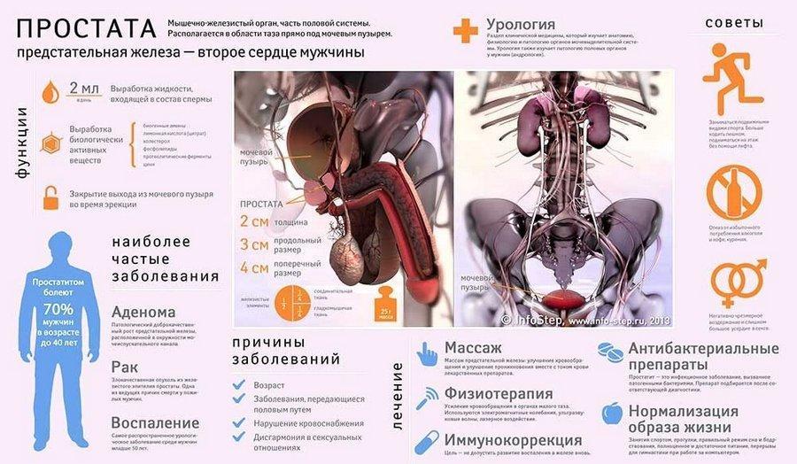 Инфографика о простате