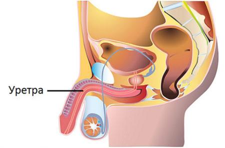 Расположение уретры у мужчин – где находится мочеиспускательный канал, какую он имеет анатомию?