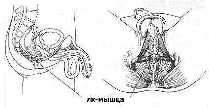 Лк-мышца