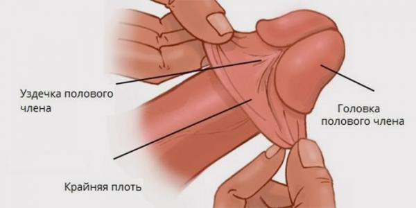 Уздечка, крайняя плоть и головка полового члена