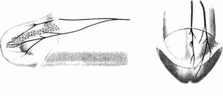 Дорсальный нерв члена