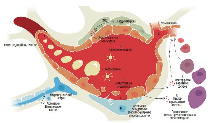 Схема воздействия УВТ на клеточном уровне