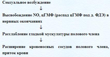 Процесс эрекции