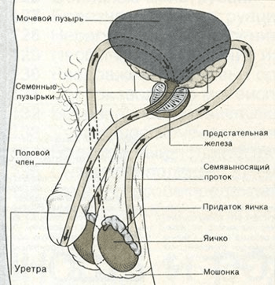 Естественный путь спермы по мужским половым путям