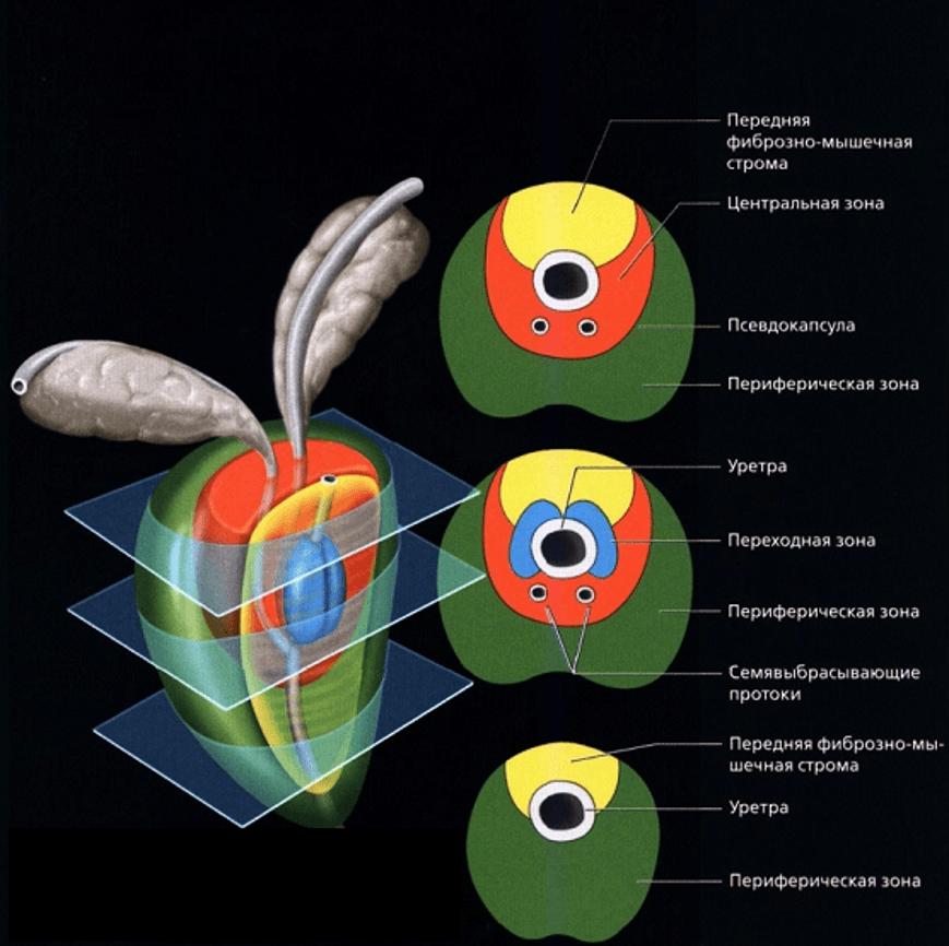 Зональная анатомия простаты в поперечных срезах на 3 уровнях