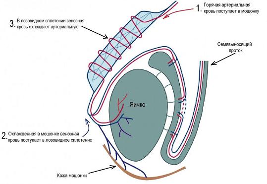 Функции лозовидного сплетения