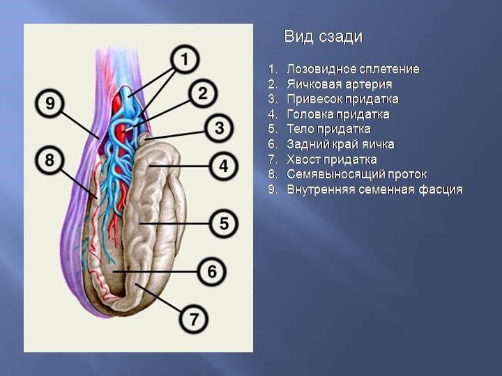 Схематичное изображение окружения яичка