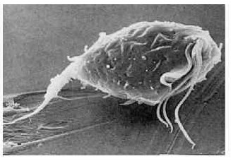Трихомонада под микроскопом