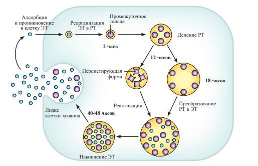 Жизненный цикл хламидии