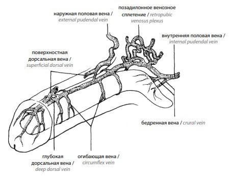Глубокая дорсальная вена