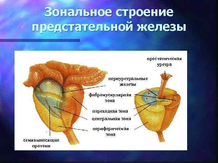 Зональное строение предстательной железы