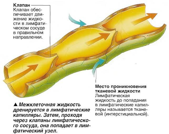 Место проникновения тканевой жидкости в сосуд