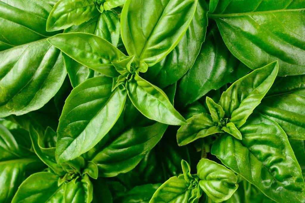 Базилик зеленый сладкий